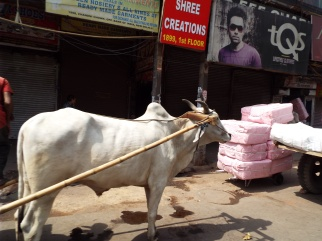 One of maybe three oxen we saw in Delhi.
