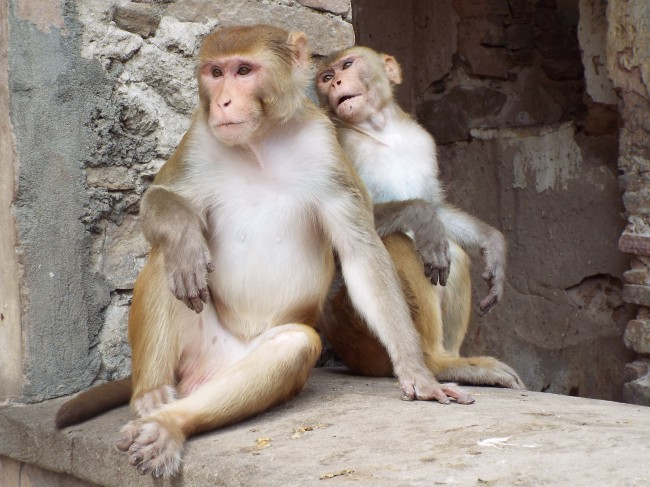 A remarkably dignified pair of our monkey friends at The Monkey Temple just outside of Jaipur. Apparently, you have to come at night for the leopards...Uh, no thanks.