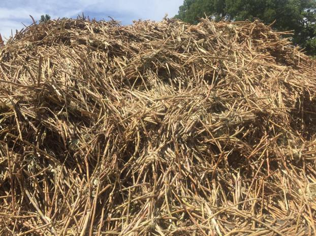 A mound of discarded cane husks which will be recycled into fertilizer for a new cane crop.