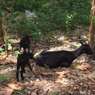 A goat family along the trail
