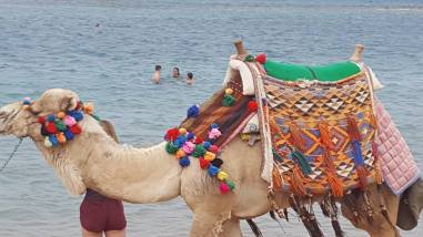 "A camel ""taxi"" in Hurghada. Note the ""diaper."""